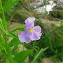 Allegheny Monkey Flower