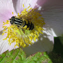 a type of hover fly