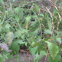 Eastern Black Nightshade