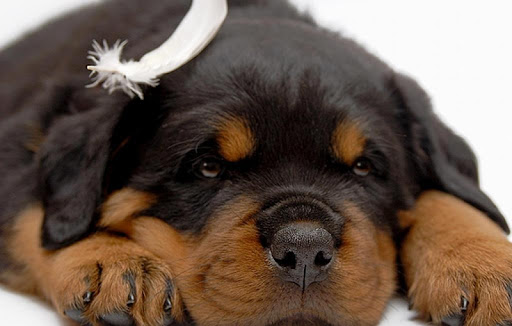 German Rottweiler Wallpaper HS