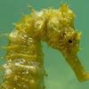 Long-snouted seahorse. Caballito de mar mediterráneo