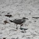 Sabine's Gull (?)