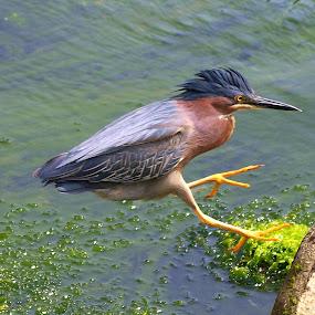 Adult Green Heron by Steve Kane - Animals Birds ( green heron, river birds, shore bird, estuary birds, canadian wildlife,  )