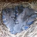 Bluebird (box #4, brood 1)