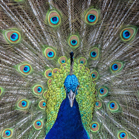 Incredible blue peacock, St martin by Judith Dueck - Animals Birds ( dancing, pheasant, neck, colorful, bright, wildlife, beauty, vibrant, feather, pride, nature, full, peafowl, descriptive, exhibition, head, eye, animal, ritual, elegance, majestic, male, beautiful, plumage, indian, adult, vitality, ceremony, tail, sint maarten, close-up, bird, turquoise, pattern, blue, color, background, beak, day, standing, peacock, , renewal, green, trees, forests, natural, scenic, relaxing, meditation, the mood factory, mood, emotions, jade, revive, inspirational, earthly )