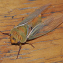 Yellow Monday Cicada