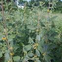 Waltheria rotundifolia