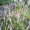 Lavanda (lavender)