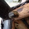 Ootheca of a Praying Mantis