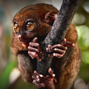 Philippine Tarsier by Ele Hob - Animals Other
