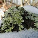 Caperat lichen