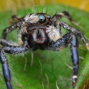 Jumping Spider by Wong H-I - Animals Insects & Spiders