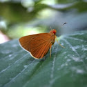Common redeye butterfly