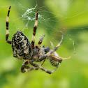 Orb-weaving spider