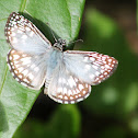 orcus checkered skipper