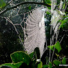 Spider web from Silver Orb-weaver Spider