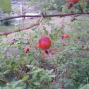 Wild Rose with Rose Hips