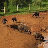 African buffalo or Cape buffalo