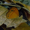 bush brown butterfly