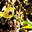 Telipogon Orchid