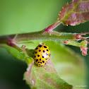22-spot ladybird