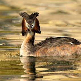 Nel Lago Dorato !!! (Svasso ,Lago di Garda ) by Albergamo Paolo - Animals Birds