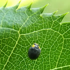 Yellow shouldered ladybird beetle