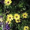 Yellow Calenduleae