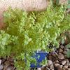 Ocimum basilicum. Albahaca