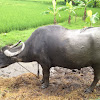 Water Buffalo and Cow