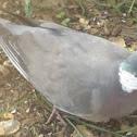Columba palumbus Woodpigeon