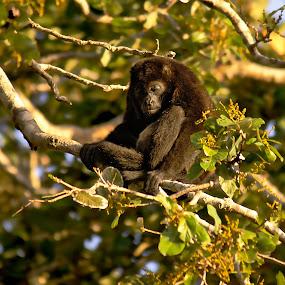Siesta by Siggy In Costa Rica - Animals Other Mammals ( howler, nap, costa rica, sleeping, monkey,  )
