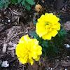 French Marigold Bonanza Yellow