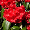 Rododendro. Rhododendron