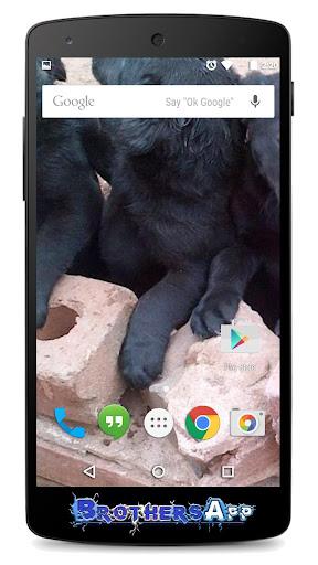 Labrador Background