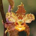 Cigar Orchid