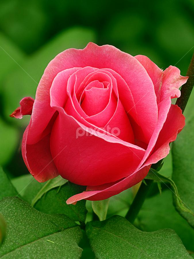 by Bharat Dudeja - Nature Up Close Flowers - 2011-2013 ( rose, nature, pink, garden, flower )