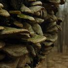 Seashell Mushroom
