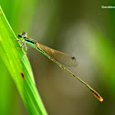 Pygmy Dartlet