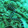 Colubrine Sea Krait,Yellow Lipped Sea Krait, Banded Sea Krait