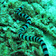 Colubrine Sea Krait,Yellow Lipped Sea Krait, Banded Sea Krait