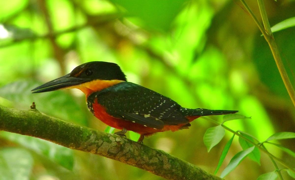 Green-and-rufus Kingfisher
