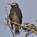 White-Cheeked Starling