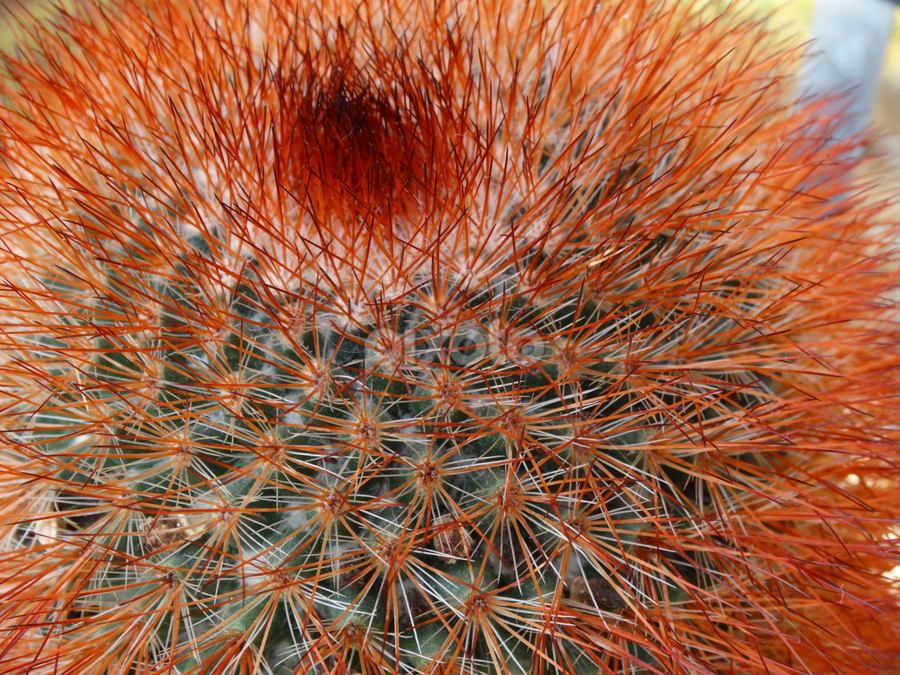 by Iain Weatherley - Nature Up Close Other plants ( spikes, red, cacti, sharp, beautiful, thorn, cactus,  )