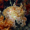 Stumpy-spined Cuttlefish