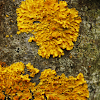 Liquen Naranjo / Common Orange Lichen