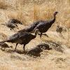 Wild Turkeys with chicks