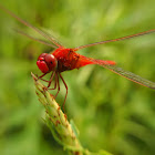 Common scarlet (male)