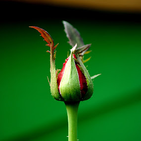 by Akhmat Haridi - Flowers Flower Buds