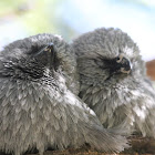 Two Apostle birds snuggling up
